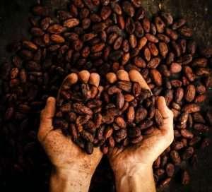 Fave di Cacao sono i semi dei frutti dell'albero del cacao